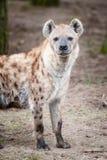 hiena dostrzegał Obraz Royalty Free