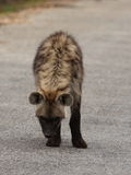 hiena dostrzegał Zdjęcia Stock