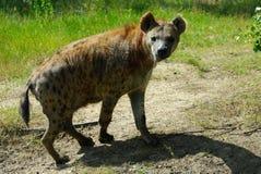 hiena dostrzegająca Fotografia Stock
