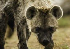 hiena dostrzegająca obraz royalty free