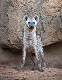 hiena dostrzegająca Fotografia Royalty Free