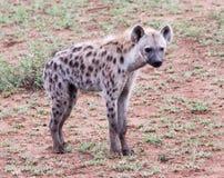 Hiena dostrzegająca na przyrodzie zdjęcie stock