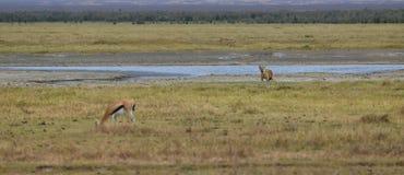 Hiena e antílope Foto de Stock Royalty Free