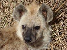 Hiena en el kruger Fotos de archivo libres de regalías