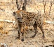 Hiena en el parque nacional de Kruger Foto de archivo libre de regalías
