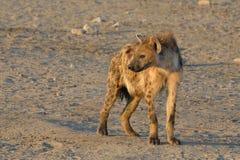 Hiena en la mirada hacia fuera Foto de archivo