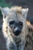 hiena młode Zdjęcia Stock