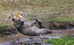 Hiena ma borowinowego skąpanie na równinach w Kenja Obraz Royalty Free