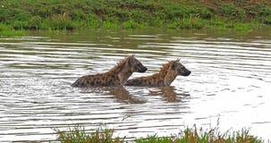 Hiena manchada, crocuta del crocuta, adultos que juegan en agua, Masai Mara Park en Kenia, almacen de video