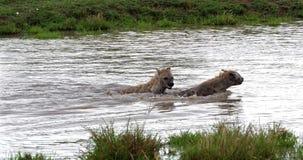 Hiena manchada, crocuta del crocuta, adultos que juegan en agua, Masai Mara Park en Kenia, metrajes