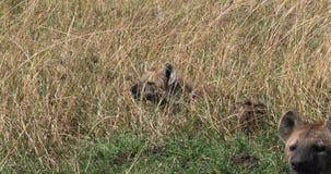 Hiena manchada, crocuta del crocuta, adultos que se colocan en hierba larga, Masai Mara Park en Kenia, metrajes