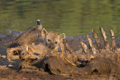 Hiena manchada (crocuta del Crocuta) en el hipopótamo (hipopótamo  Imagenes de archivo