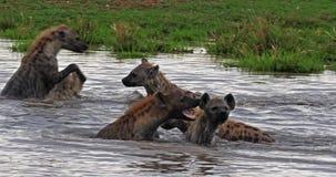 Hiena manchada, crocuta del crocuta, grupo que juega en agua, Masai Mara Park en Kenia, almacen de video