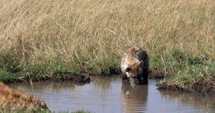 Hiena manchada, crocuta del crocuta, madre y situación joven en el agua, Masai Mara Park en Kenia, almacen de video