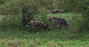 Hiena manchada, crocuta do crocuta, adultos que correm, Masai Mara Park em Kenya, video estoque