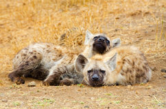 Hiena manchada Cubs, parque nacional de Kruger, África do Sul Foto de Stock Royalty Free