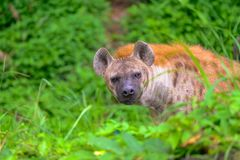 Hiena manchada en el safari fotografía de archivo libre de regalías