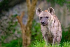 Hiena manchada en el safari imagenes de archivo