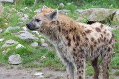 Hiena manchada estando (crocuta do Crocuta) Fotos de Stock