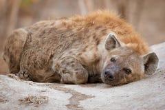 Hiena manchada muy perezosa que pone en el montón de la termita foto de archivo