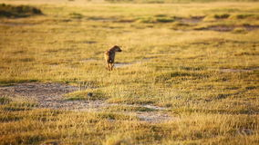 Hiena manchada, parque de Amboseli, Kenia almacen de video