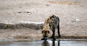 Hiena manchada que bebe, Etosha, fauna del safari de Namibia África almacen de video