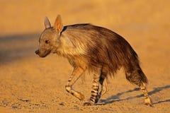 Hiena marr?n alerta - desierto de Kalahari fotos de archivo