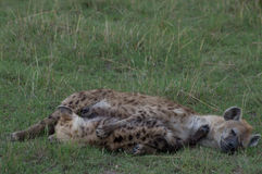 Hiena pielęgnuje jej ciuci Fotografia Stock