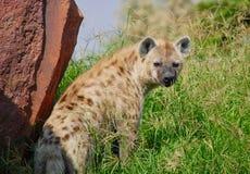 Hiena przyglądająca w obszarze trawiastym z powrotem obrazy royalty free