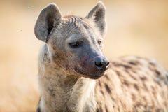 Hiena que alimenta em um reddbuck fotografia de stock royalty free