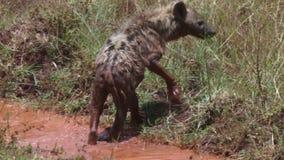 Hiena que se refresca en una piscina de agua. metrajes