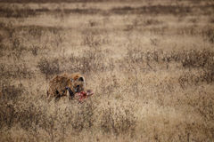 Hiena que termina uma cabeça do búfalo no parque nacional de Ngorongoro (Tanzânia) Fotografia de Stock