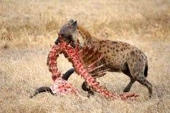 Hiena w dzikim Zdjęcie Royalty Free