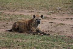 Hiena w dzikim maasai Mara fotografia stock