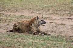 Hiena w dzikim maasai Mara zdjęcia royalty free