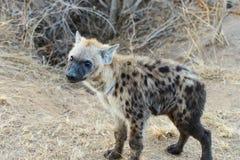 Hiena z jaskrawymi oczami zdjęcie royalty free