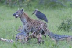 Hiena z kością w jego usta, patrzeje lewica fotografia stock