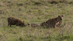 Hienas e chacal selvagens Imagens de Stock