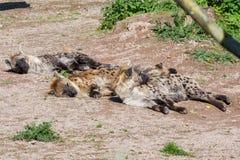 Hienas manchadas Foto de Stock