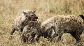 Hienas que comen, Serengeti, Tanzania, África Fotografía de archivo libre de regalías