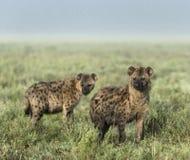 Hienas que olham afastado no parque nacional de Serengeti Imagens de Stock