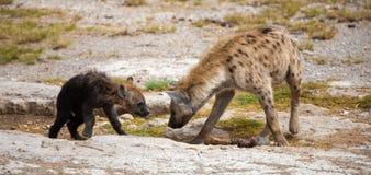Hienas que se colocan en el prado, paisaje de Kenia Foto de archivo
