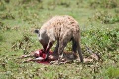 Hieny polowanie, Serengeti park narodowy, Tanzania, Afryka Zdjęcie Royalty Free