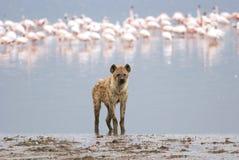 Hieny pozycja na brzeg jezioro na tle kierdel flamingi, fotografia stock