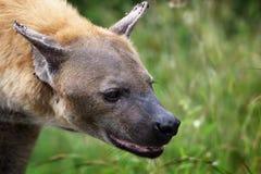 Hieny zbliżenie w Kruger parku narodowym Fotografia Royalty Free