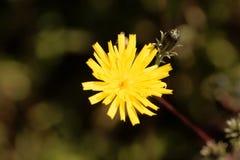 Hieracioides del Picris del oxtongue del Hawkweed Fotografia Stock Libera da Diritti