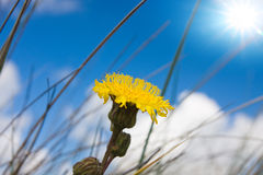 Hieracium Stock Photography
