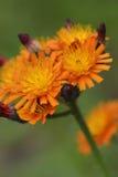 Hieracium aurantiacum zdjęcie royalty free