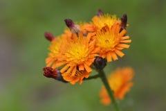 Hieracium aurantiacum Royalty Free Stock Image