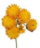 Hieracium aurantiacum Stock Photos